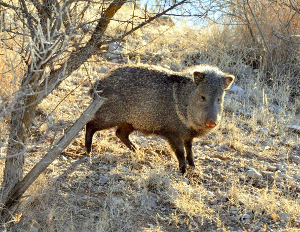 Javelina | Lordsburg, New Mexico | December, 2009