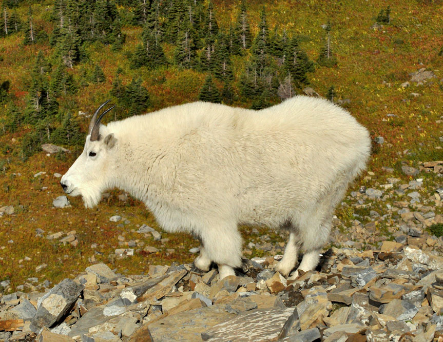 Mountain Goat | Glacier National Park | September, 2010