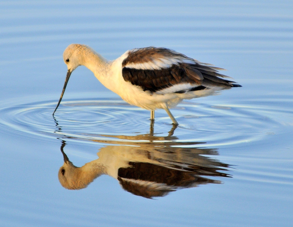 American Avocet | Bear River Bird Refuge, Utah | September, 2010