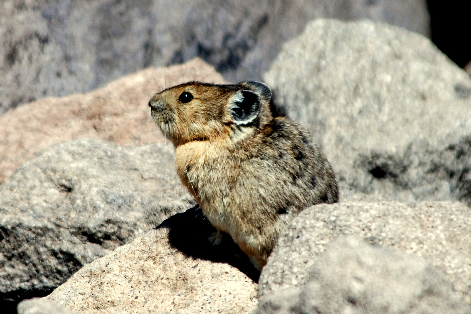 American Pika | Southfork, Colorado | July, 2009
