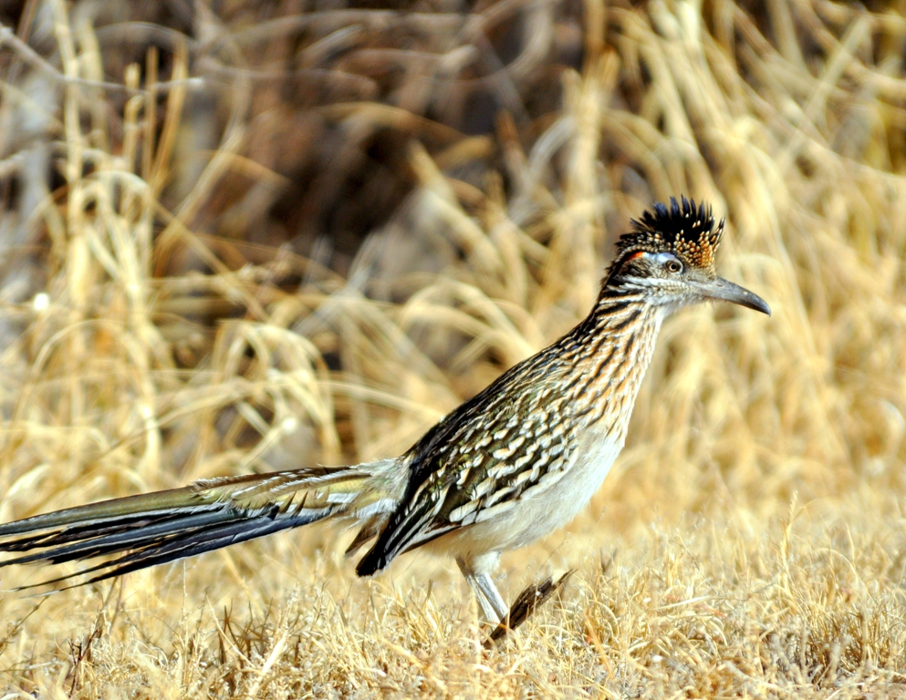 Greater Roadrunner | Bosque del Apache | March, 2010