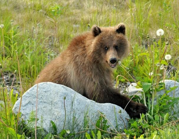 Brown Bear –  Cub | Haines, Alaska | June, 2011