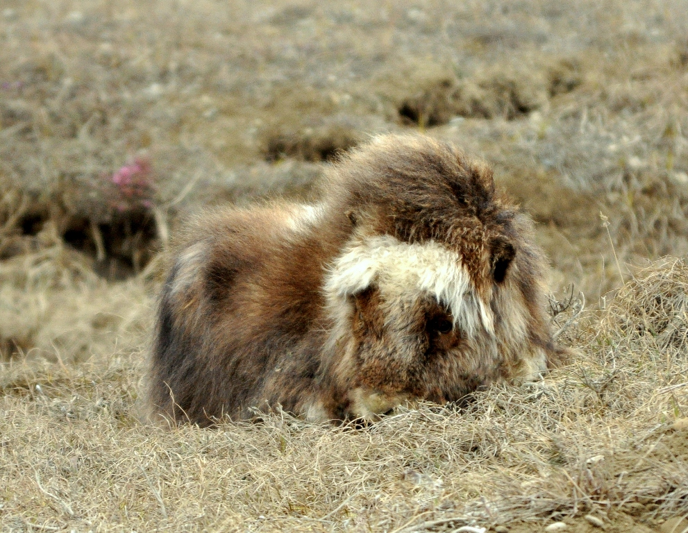 Musk Ox –  Calf | Deadhorse, Alaska | June, 2011