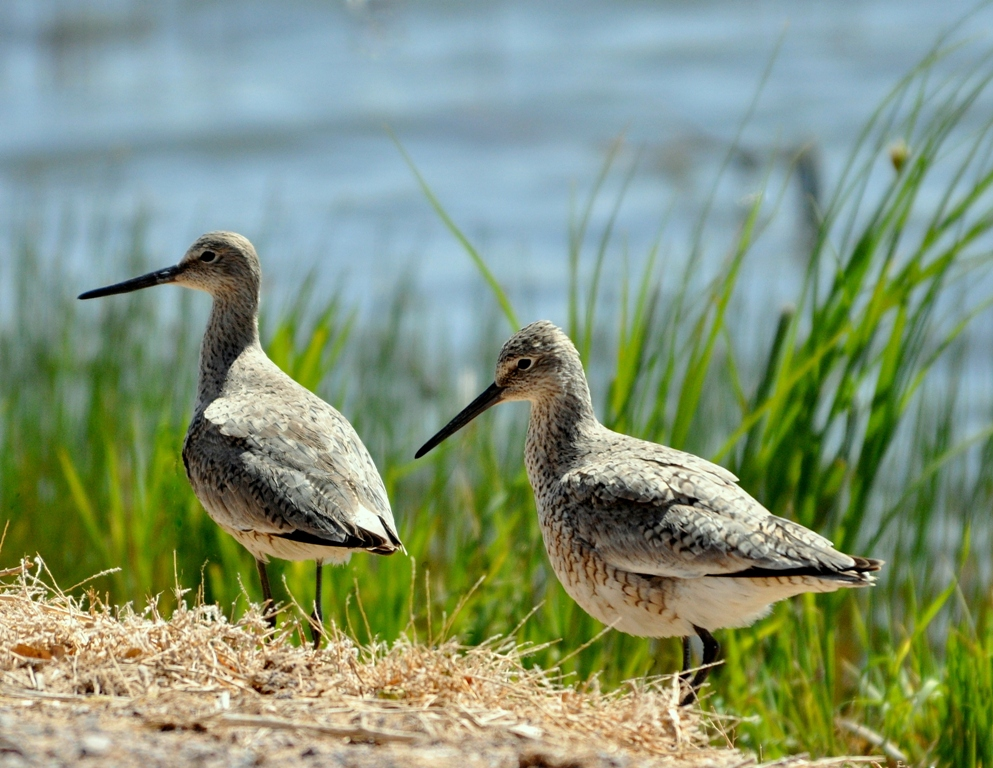 Willets | Bosque del Apache | April, 2011