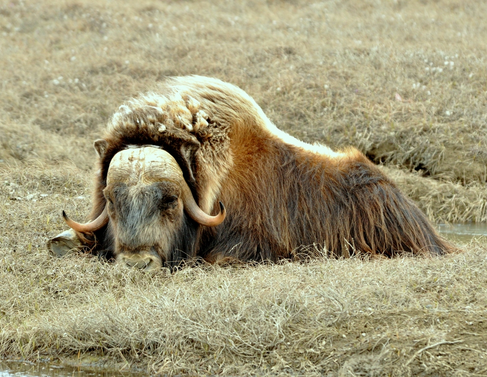 Musk Ox –  Cow | Deadhorse, Alaska | June, 2011