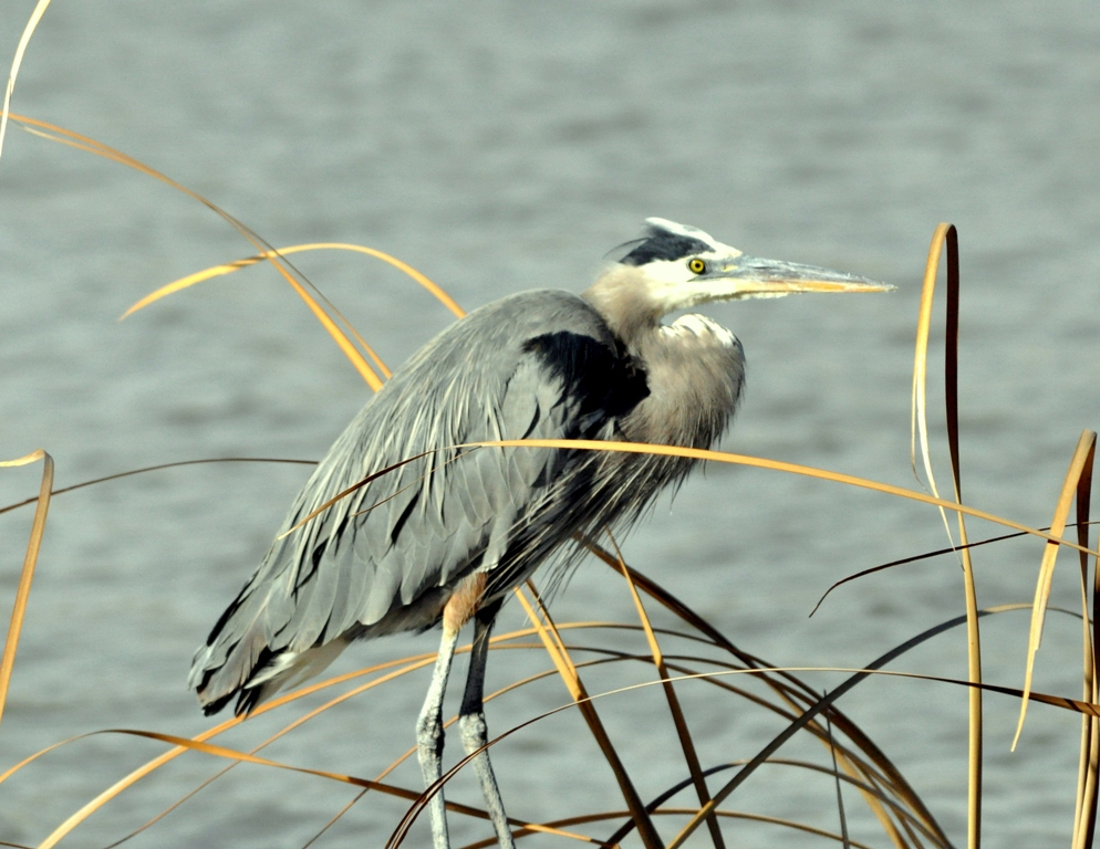 Great Blue Heron | Bosque del Apache | January, 2010