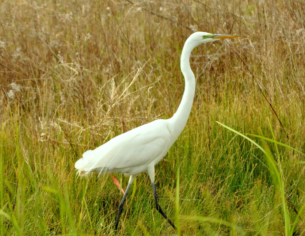 Great Egret | Bosque del Apache | May, 2010