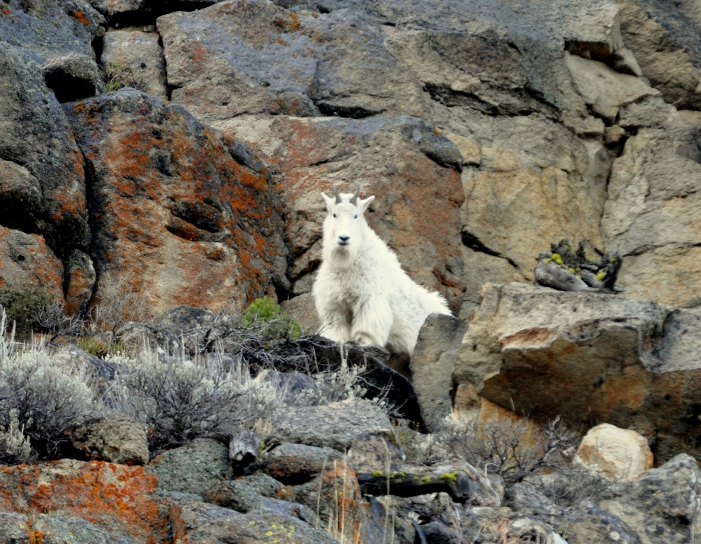 Mountain Goat | Yellowstone National Park | October, 2009