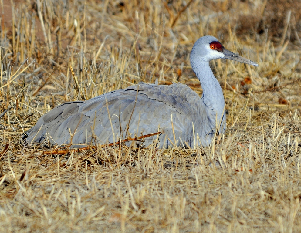 Sandhill Crane | Albuquerque, New Mexico | December, 2010