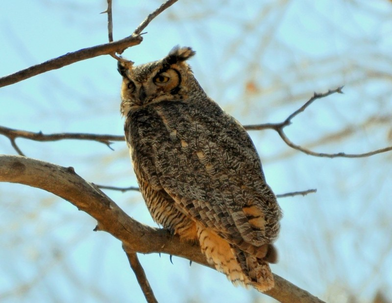 Great Horned Owl | Carlsbad, New Mexico | February, 2011