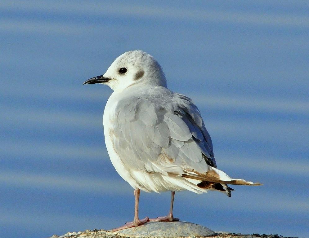 Bonaparte's Gull | Wasilla, Alaska | June, 2011
