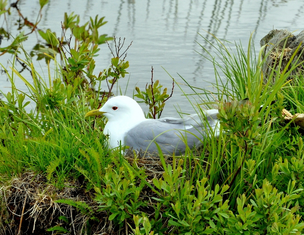 Mew Gull | Anchorage, Alaska | June, 2011
