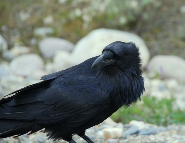 Common Raven | Jasper, Alberta | June, 2011
