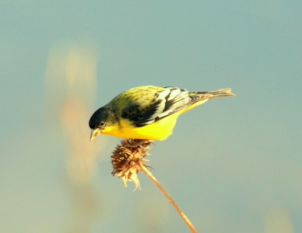 American Goldfinch – Male | Bosque del Apache | January, 2008