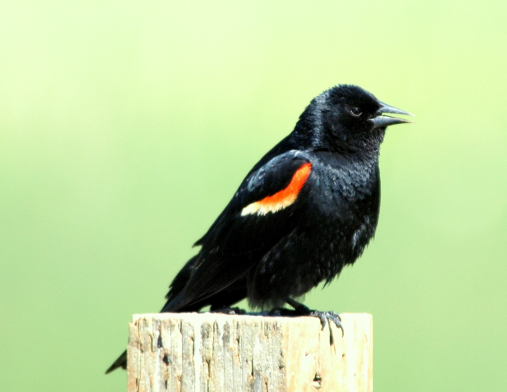 Red-winged Blackbird –  Male | Bonners Ferry, Idaho | June, 2009