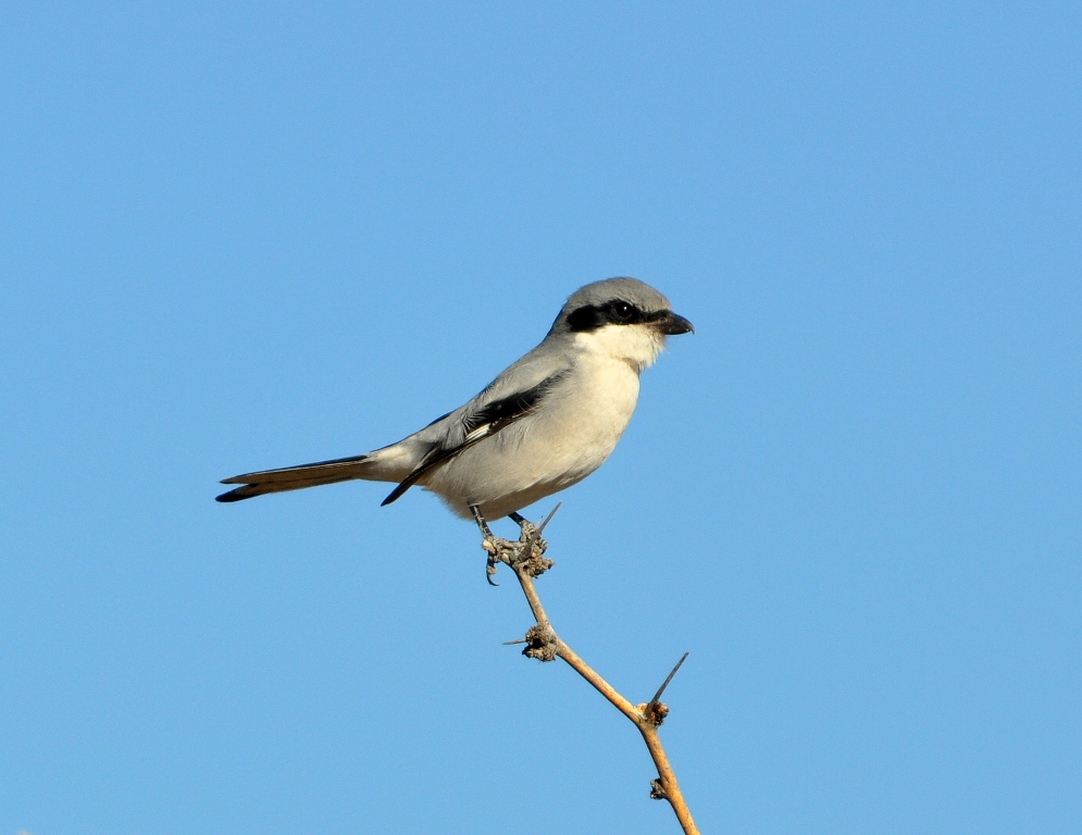 Loggerhead Shrike | Lordsburg, New Mexico | November, 2010