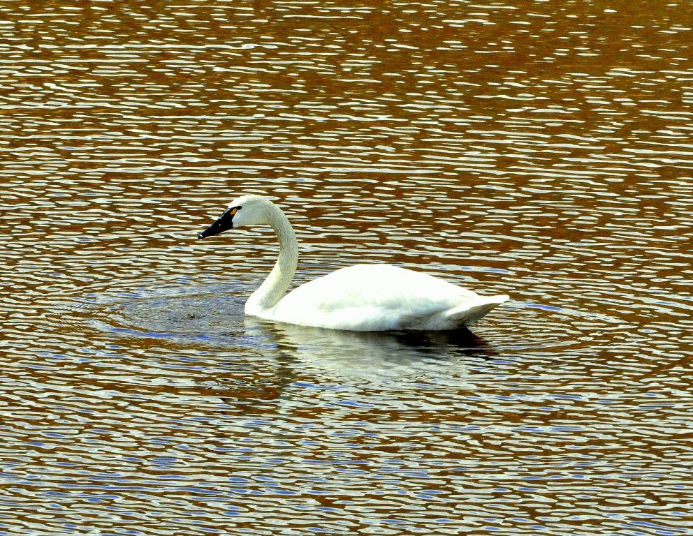 Tundra Swan | Paxson, Alaska | June, 2011
