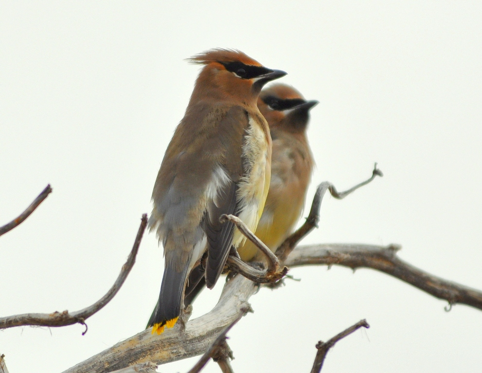 Cedar Waxwings | Lordsburg, New Mexico | November, 2009