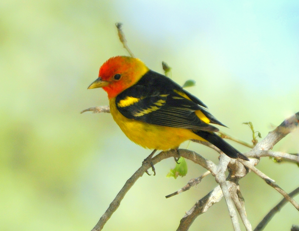 Western Tanager – Male | Albuquerque, New Mexico | May, 2010