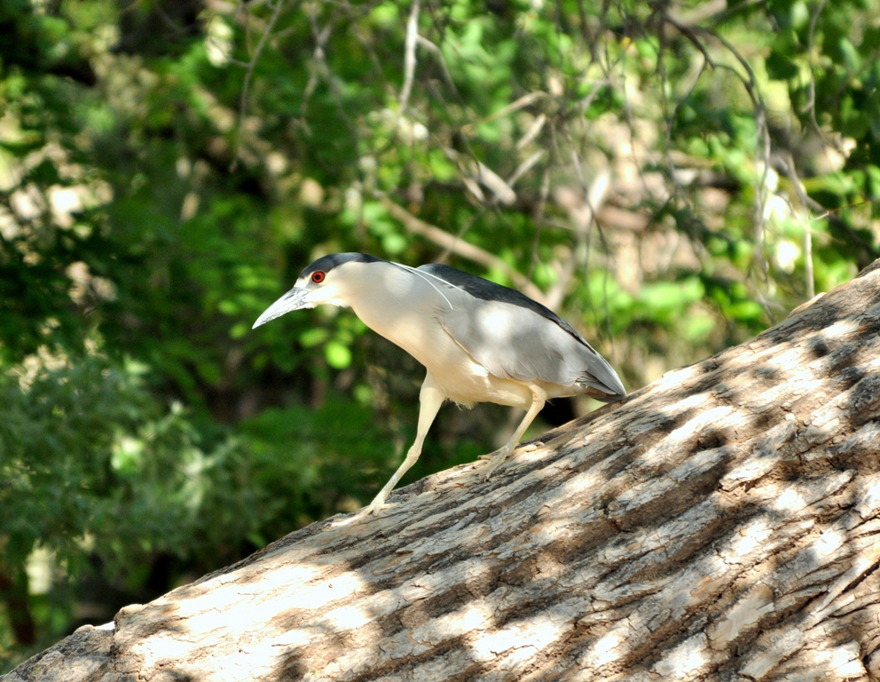 Black-crowned Night-Heron | Albuquerque, New Mexico | April, 2010