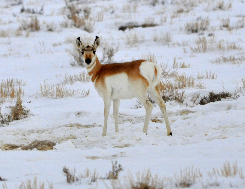 Pronghorn –  Immature | Walden, Colorado | January, 2011