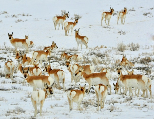 Pronghorns | Walden, Colorado | January, 2011