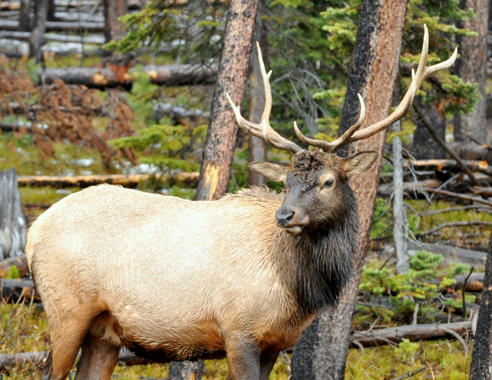Elk –  Bull | Yellowstone National Park | October, 2009