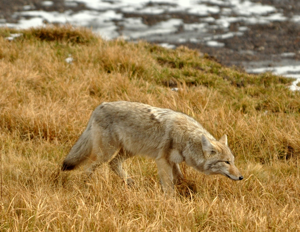 Coyote | Yellowstone National Park | October, 2009