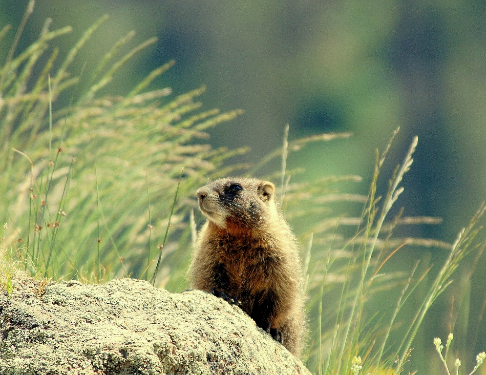 Marmot –  Yellow-bellied | Southfork, Colorado | July, 2009