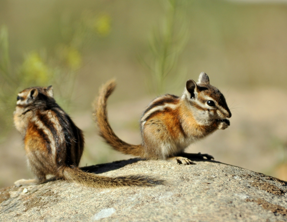 Least Chipmunks  | Walden, Colorado | September, 2010