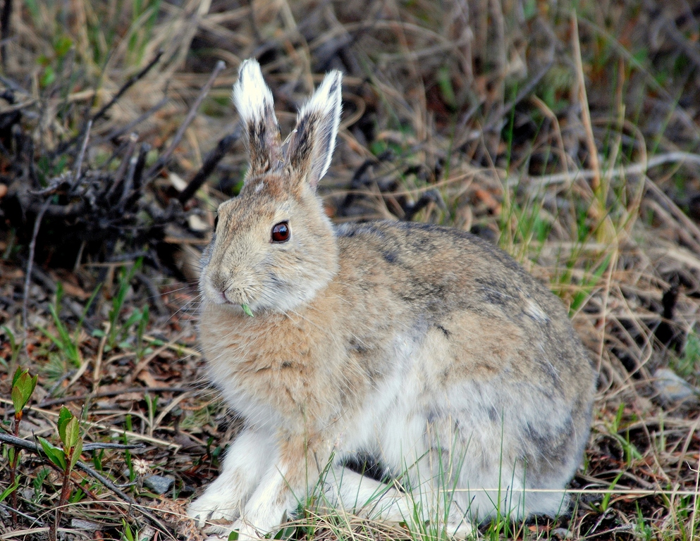 Snowshoe Hare | Denali National Park | May, 2009