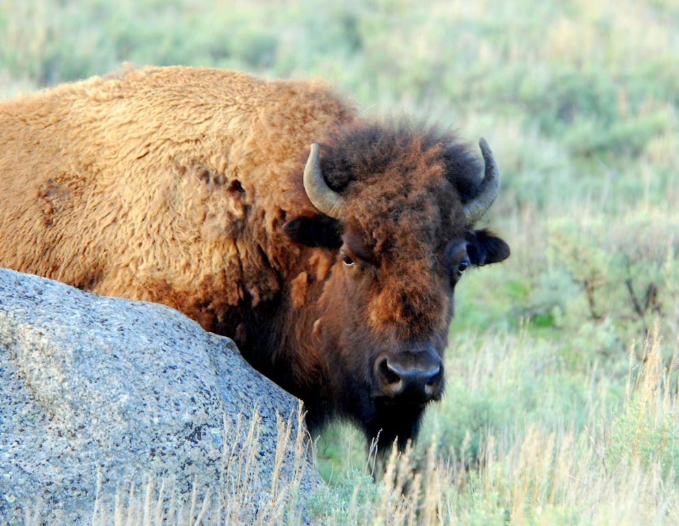Bison –  Cow | Yellowstone National Park | May, 2009