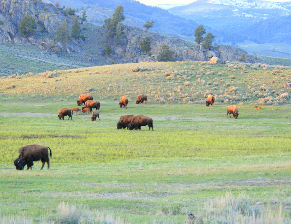 Bison –  Cows and Calves | Yellowstone National Park | May, 2009