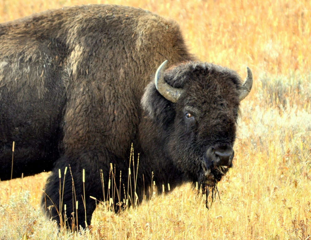 Bison –  Bull | Yellowstone National Park | October, 2009