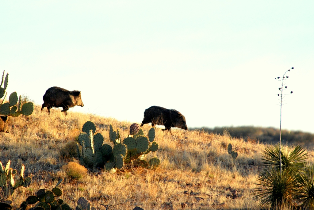 Javelinas | Lordsburg, New Mexico | March, 2009