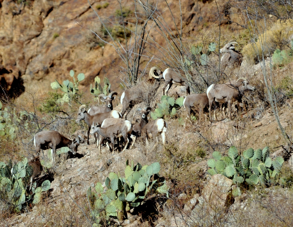 Desert Bighorn Sheep | Lordsburg, New Mexico | November, 2010