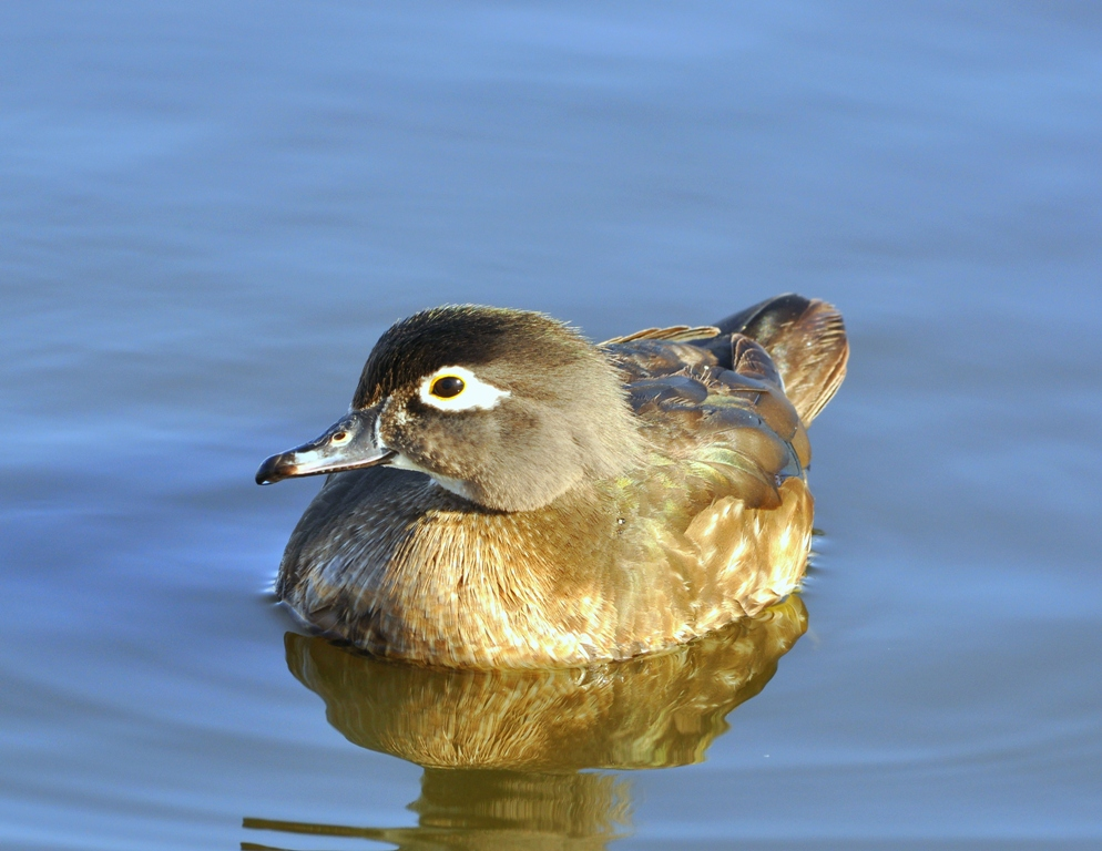 Wood Duck –  Female | Albuquerque, New Mexico | March, 2011