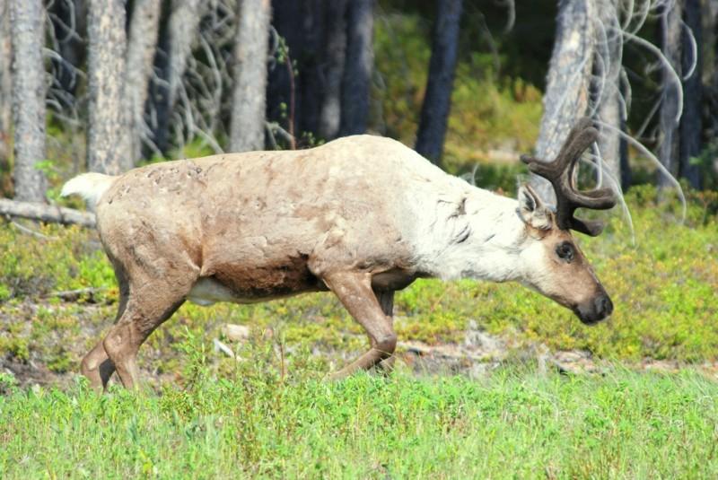 Caribou – Bull   Fort Nelson, British Columbia   June, 2009