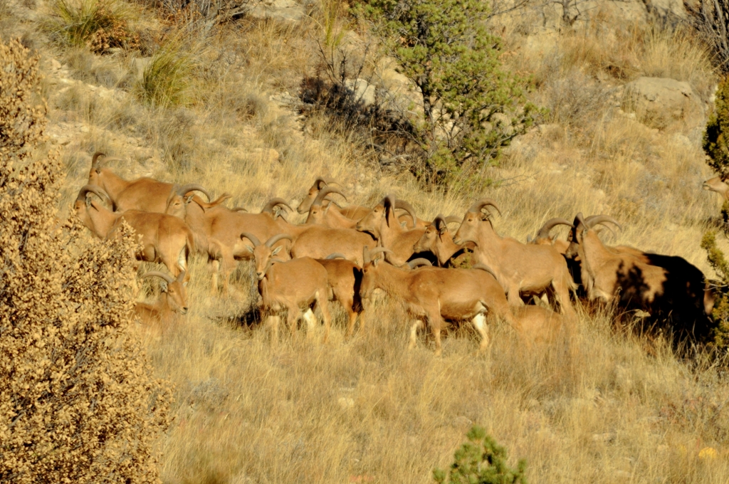 Barbary Sheep | Lincoln, New Mexico | February, 2011