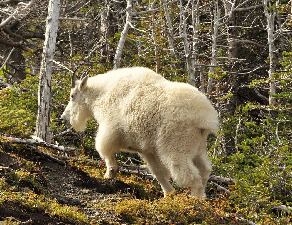 Mountain Goat | Glacier National Park | September, 2010