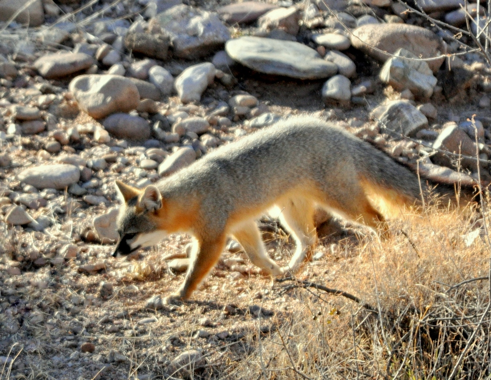 Gray Fox | Lordsburg, New Mexico | January, 2010