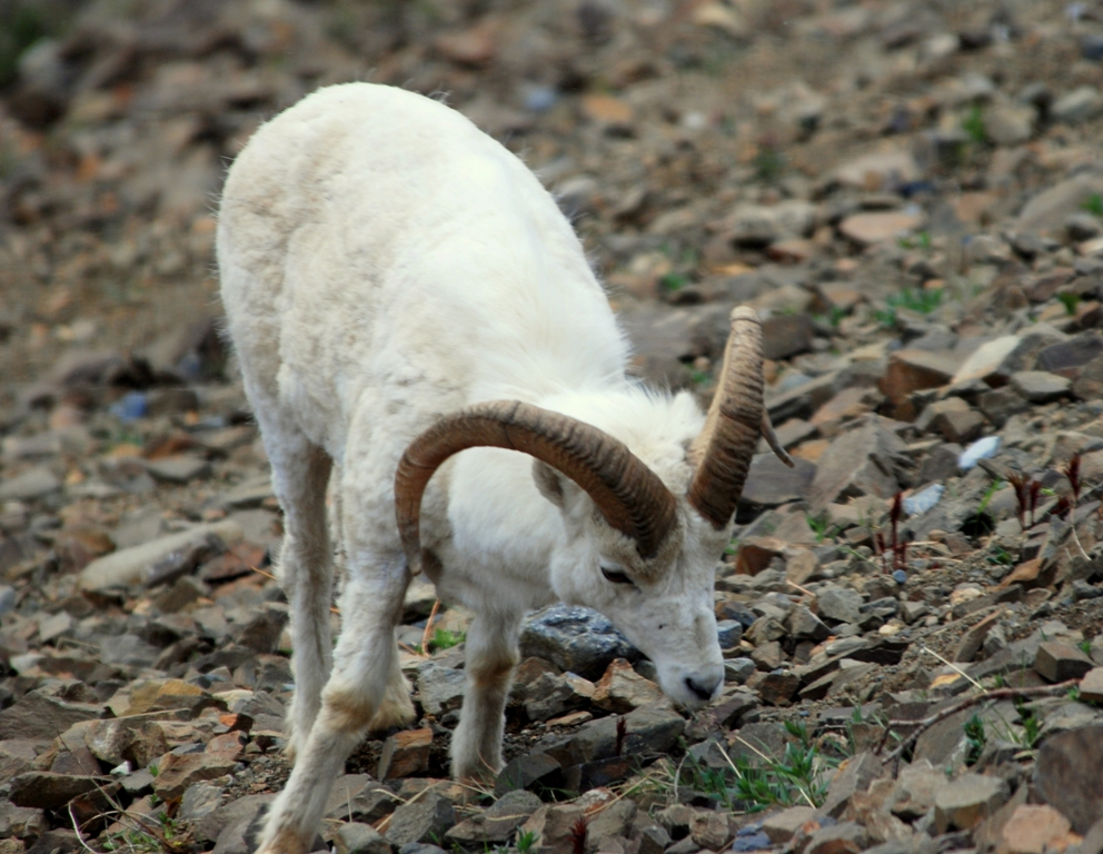 Dall Sheep –  Ram | Denali National Park | May, 2009