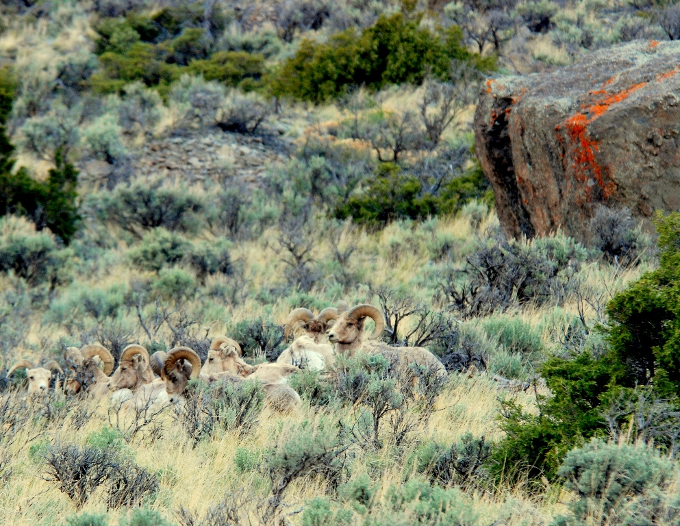 Bighorn Sheep – Rams | Cody, Wyoming | May, 2009