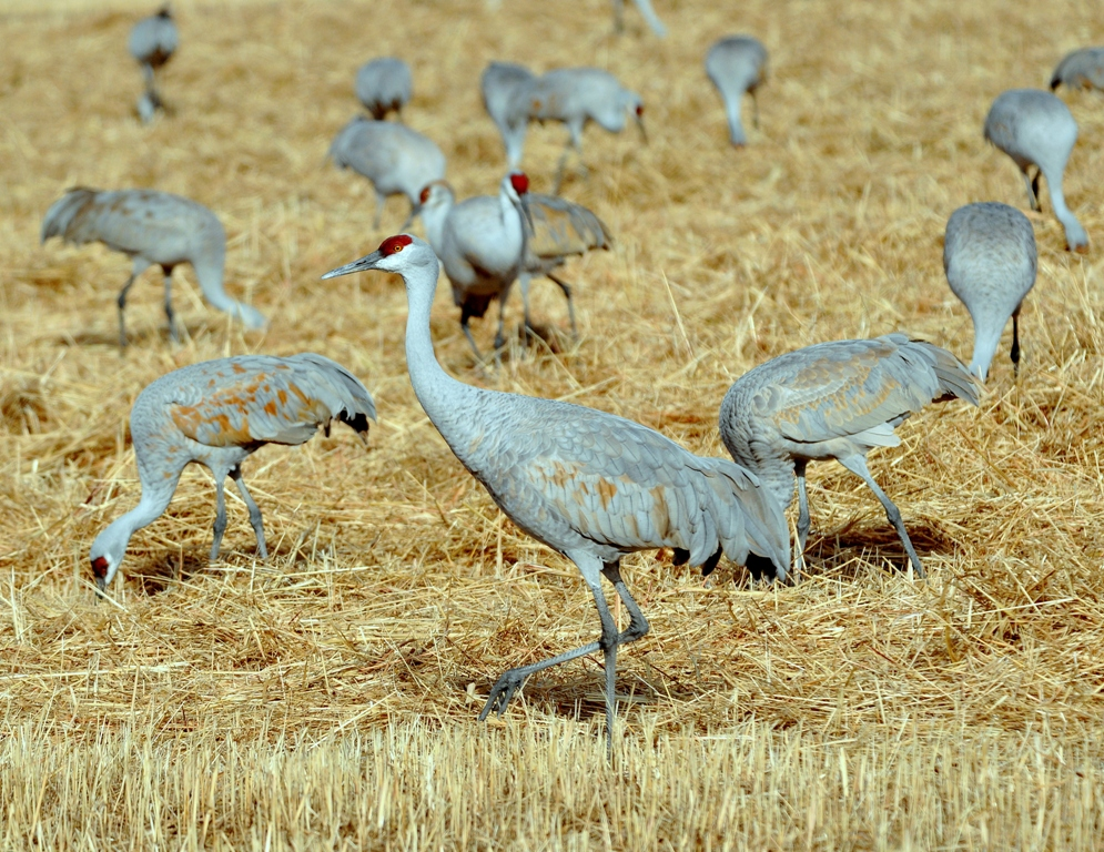 Sandhill Cranes | Albuquerque, New Mexico | December, 2010