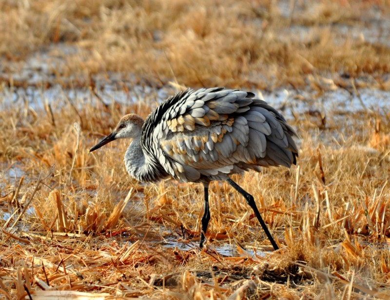 Sandhill Crane –  Immature | Bosque del Apache | November, 2009