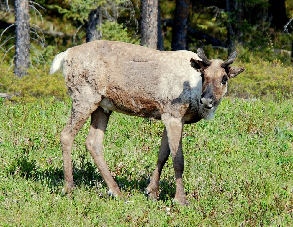 Caribou –  Immature Bull | Fort Nelson, British Columbia | June, 2009