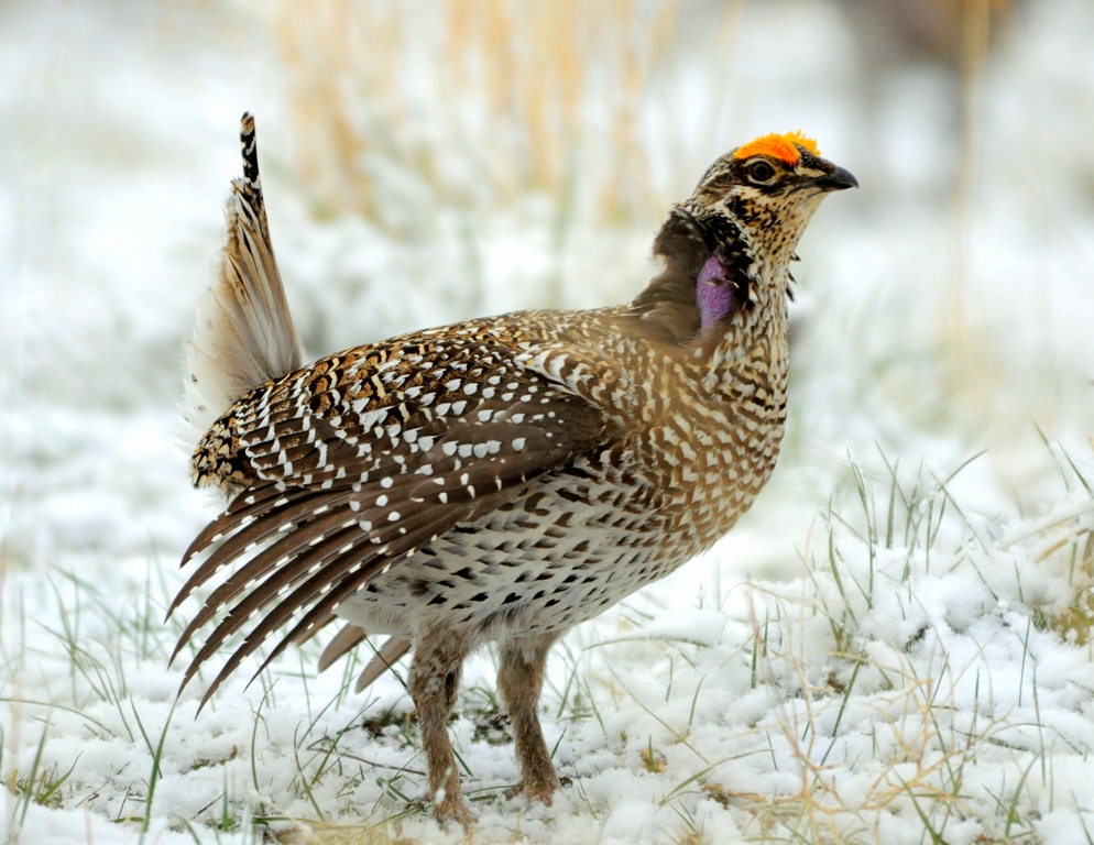 Sharp-tailed Grouse –  Male | Craig, Colorado | April, 2010