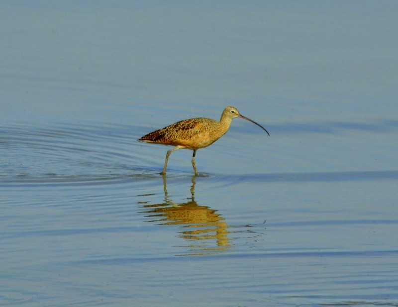 Long-billed Curlew | Antelope Island, Utah | September, 2010