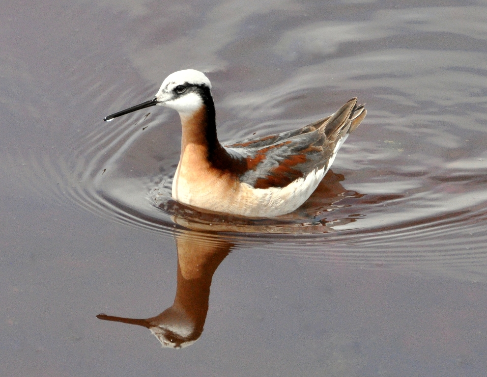 Wilson's Phalarope –  Female | Walden, Colorado | May, 2011