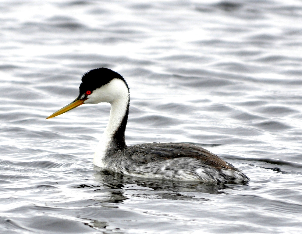Western Grebe | Walden, Colorado | May, 2011